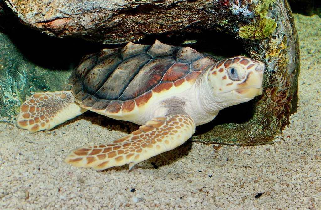 Редчайших черепах выпустят в Адриатическое море