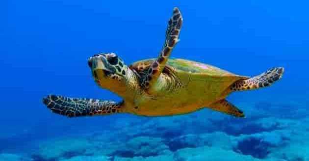 Черепаха в Адриатическое море